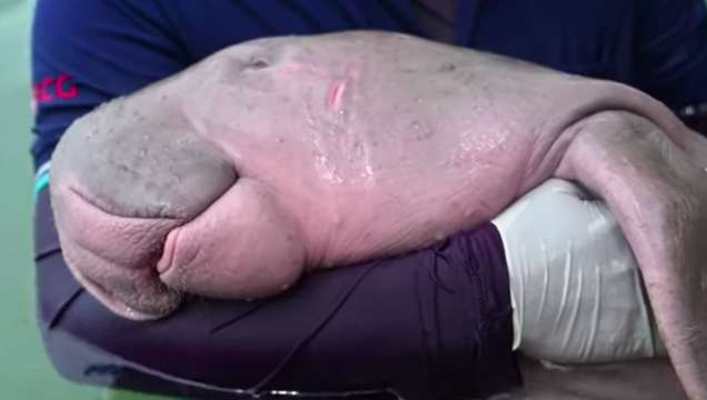 Rescued Baby Dugong Gives Its Rescuers Big Hugs - Love ...  Baby