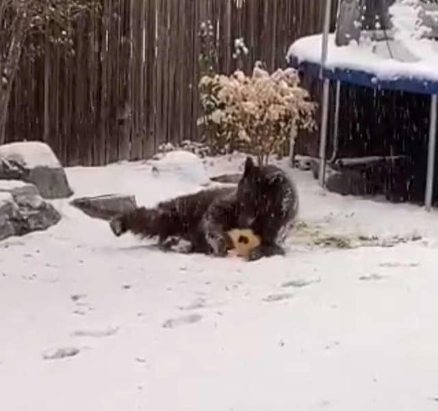 Bear Sneaks In A Backyard And Has Fun Playing With A Ball Lying There