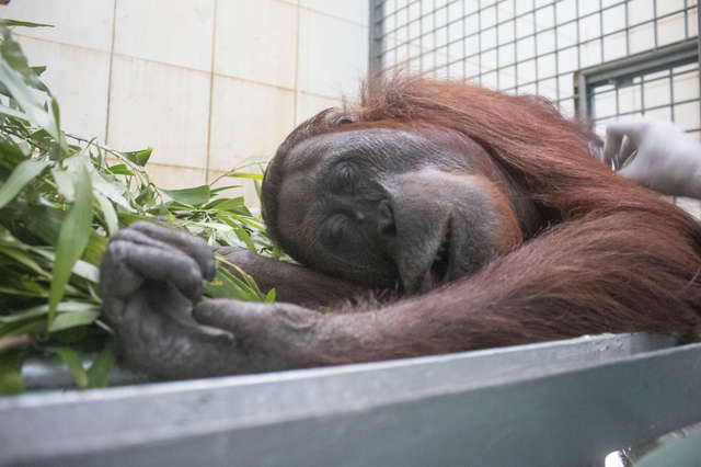 Rescuers Come In Time To Save 2 Orangutans From The Burnt Down Forest In Indonesia