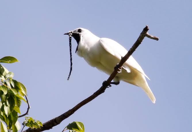 'World's Loudest Bird', The Bellbird doesn't even sound like a real bird