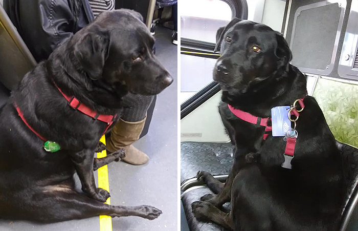 The Good Dog That Takes The Bus Ride To The Dog Park Everyday On Her Own; Even Has A Bus Pass Attached To Her Collar