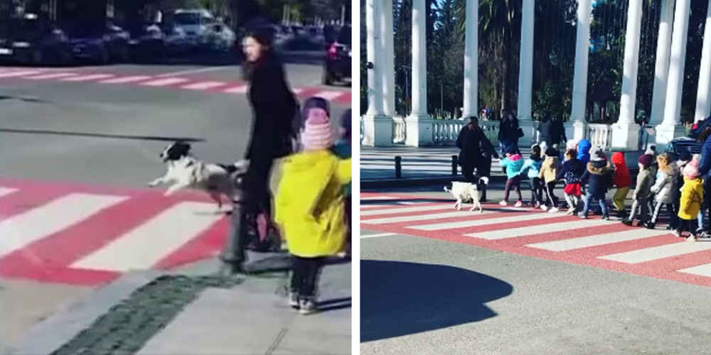 A Dog Stops The Traffic So That A Group Of Kids Can Cross The Street Safely