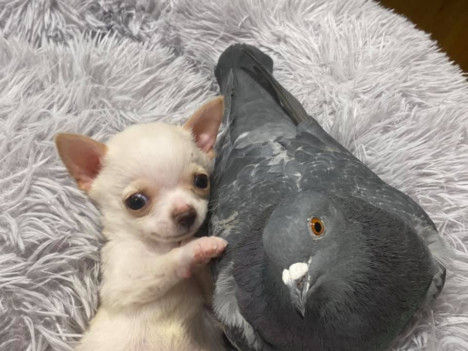 This Pigeon Who Couldn't Fly Met a With Puppy Who Couldn't Walk, Now They Are BFF