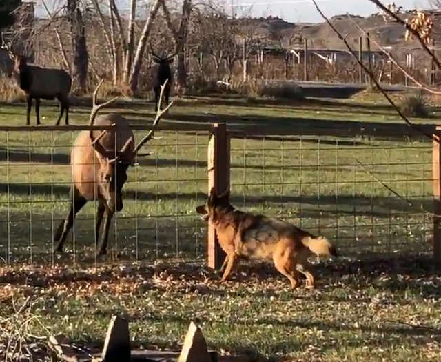 A Wild Elk Comes To Visit His Best Dog Friend For Many Years