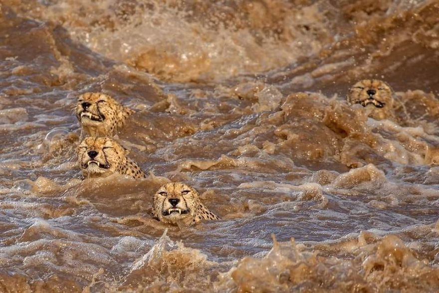 Photographers Get A Lifetime Chance to Photograph 5 Cheetahs Who Crossed A Crocodile Infested Flooded River