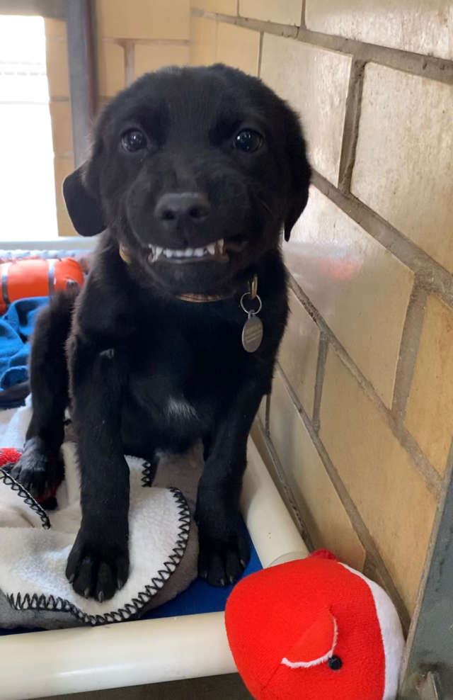 This Puppy At A Shelter Smiles At Everyone Who Passes Him By