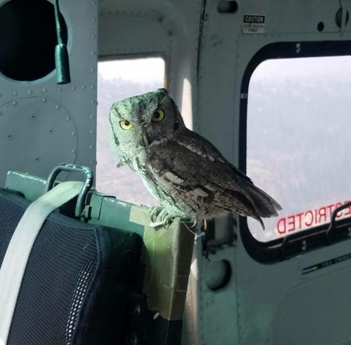 An Owl Simply Flies Inside A Helicopter In-bound For California Wildfires