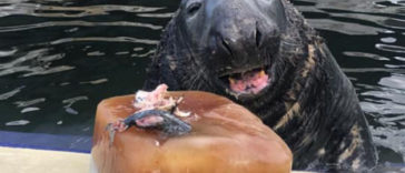 Seal Gets A Birthday Surprise; A Big Ice Fish Cake