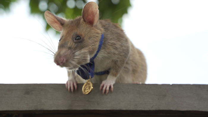 This is Magawa A Landmine-Detecting Rat And It Received The PSDA Gold Medal For Bravery